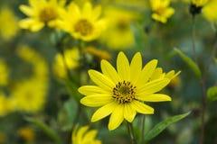 Jacobaea común del Senecio del Ragwort - macro amarilla hermosa del primer de la flor Imagen de archivo