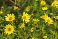 Jacobaea común del Senecio del Ragwort - macro amarilla hermosa del primer de la flor Foto de archivo libre de regalías
