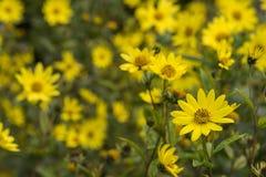 Jacobaea común del Senecio del Ragwort - macro amarilla hermosa del primer de la flor Fotos de archivo libres de regalías