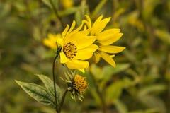 Jacobaea común del Senecio del Ragwort - macro amarilla hermosa del primer de la flor Imagen de archivo libre de regalías