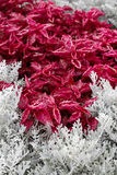 Jacobaea maritima silver ragwort and Iresine herbstii herbst`. S bloodleaf plants. Autumn decor stock image