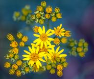 Jacobaea vulgaris или обои Ragwort близкие поднимающие вверх на зеленом цвете и Pur Стоковые Фото