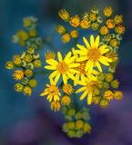 Jacobaea vulgaris or Ragwort Royalty Free Stock Photography
