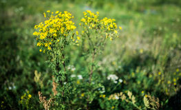 Jacobaea vulgaris, Senecio jacobaea Royalty Free Stock Photo