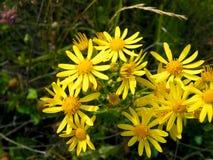 Jacobea vulgaris or Senecio Jacob. Jacobea vulgaris or Senecio Jaco. Wild poisonous and medicinal plant of Siberia Stock Photo