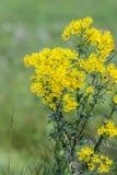 Jacobea vulgaris or Senecio Jacob  lat. Jacobaea vulgaris, Sene Stock Photography