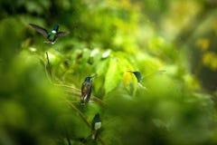 jacobin Blanc-étranglé se reposant sur la branche sous la pluie, colibri de forêt tropicale tropicale, Colombie, oiseau étant per image stock