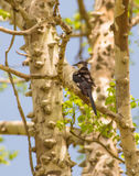 Jacobin Cuckoo Royalty Free Stock Images