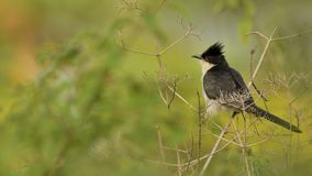 The Jacobin cuckoo, pied cuckoo, or pied crested cuckoo stock photos