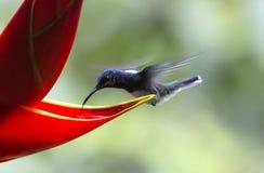 Jacobin Hummingbird Blanc-étranglé, mellivora de Florisuga photographie stock libre de droits