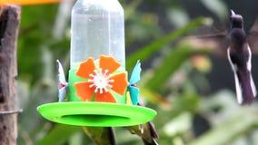 Jacobin Hummingbird negro y otro almacen de metraje de vídeo