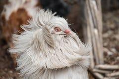 Jacobin Pigeon fotos de stock royalty free