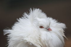Jacobin pigeon Stock Photography