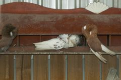 Jacobin Pigeons imagem de stock