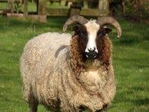 Jacobs绵羊 免版税库存图片