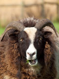 Jacobs Sheep Royalty Free Stock Images