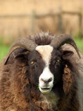 Jacobs Sheep Stock Photos