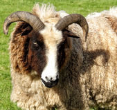 Jacobs sheep. Sheep on farm in sunshine royalty free stock image