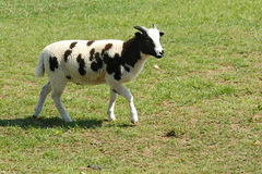 Jacobs sheep. A lamb of the Jacob's sheep breed Royalty Free Stock Images