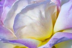 Jacq chinensis color de rosa de Rosa de China púrpura Imágenes de archivo libres de regalías