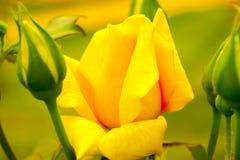 Jacq chinensis cor-de-rosa de rosa da porcelana amarela Fotografia de Stock