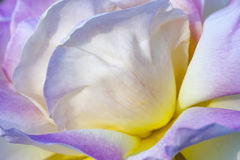 Jacq chinensis rose de rosa de porcelaine pourpre Images libres de droits