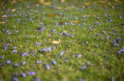 Jacquarandabloemen op grasgebied royalty-vrije stock fotografie