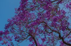 Jacquarda floreciente contra el cielo azul pueda Sevilla, Andaluc3ia, España fotos de archivo libres de regalías