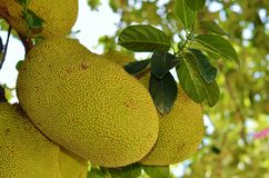 Jacquier de maturation de fruits Photos stock