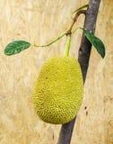 Jacquier (heterophyllus d'Artocarpus) sur le fond en bois Images libres de droits
