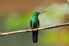 jacula Verde-incoronato di Brillant Heliodoxa Fotografia Stock