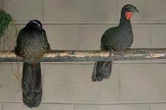 Jacupemba, Braziliaanse vogel Royalty-vrije Stock Afbeeldingen
