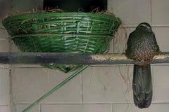 Jacupemba, Braziliaanse vogel Stock Fotografie