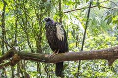 Jacutinga, Parque DAS Aves, Foz font Iguacu, Brésil Images libres de droits