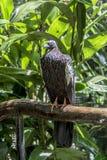 Jacutinga, Parque DAS Aves, Foz font Iguacu, Brésil Photo stock
