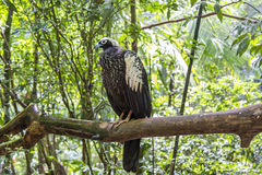 Jacutinga, Parque das Aves, Foz hace Iguacu, el Brasil Imágenes de archivo libres de regalías