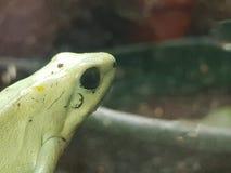 Jad strzała żaba Zdjęcie Stock