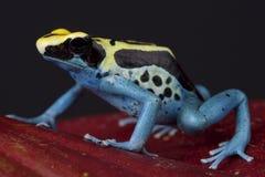 Jad strzałki żaba, Dendrobates tinctorius/ fotografia stock