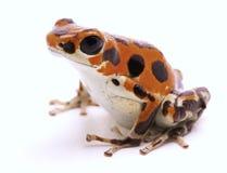 Jad strzałki żaba od Czerwonej żaby plaży Fotografia Stock