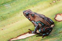 Jad strzałkowatej żaby Panamska tropikalna dżungla obrazy stock