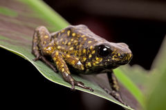 Jad strzałkowatej żaby Peruwiańska amazonka obrazy stock