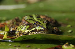jadalna żaba Obraz Stock