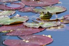 Jadalna żaba - Pelophylax esculentus obraz royalty free