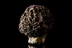 jadalna grzybów morchella morel pieczarki kosztowność Obrazy Royalty Free