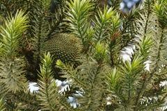 Jadalna sosna rożka owoc araukarii brasiliensis, nie mimo to dojrzały obrazy stock
