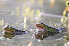 Jadalne żaby (Pelophylax esculentus) Obrazy Royalty Free