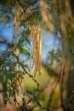 Jadalne Mesquite fasole na drzewie w Sonoran pustyni fotografia stock