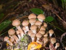 Jadalnej pieczarki bedłki miodowy grzyb lub Armillaria mellea, grona dorośnięcie, makro-, selekcyjna ostrość, płytki DOF Obraz Royalty Free