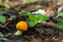 Jadalni grzyby który r w drewnie lake wood jesieni odbicia UPRAWA pieczarki zdjęcie royalty free