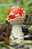 Jadalni grzyby który r w drewnie lake wood jesieni odbicia UPRAWA pieczarki m komarnicy Piękny czerwony agari muchy bedłki piękna obraz stock